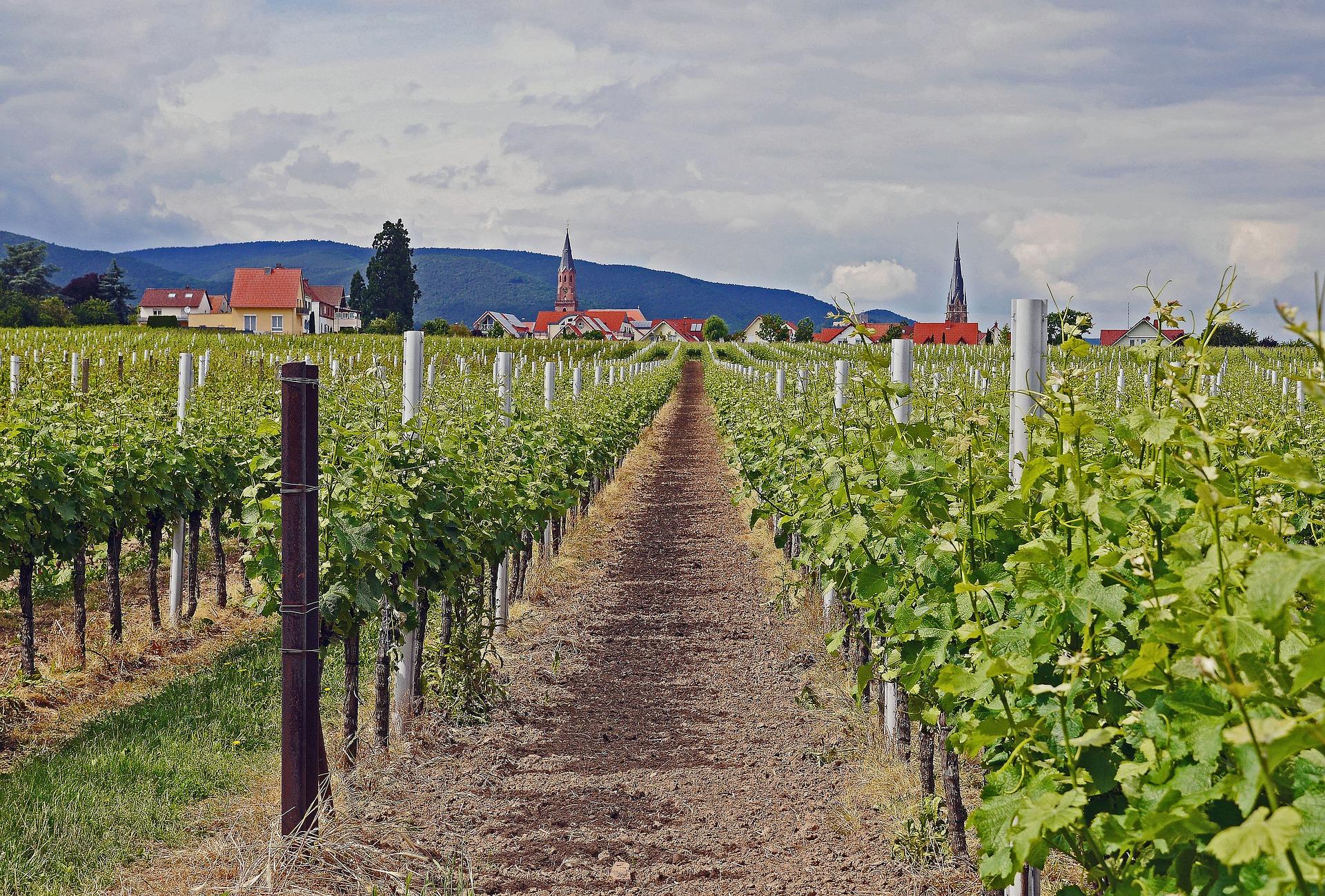 Weinjahrgang 2016 in der Pfalz